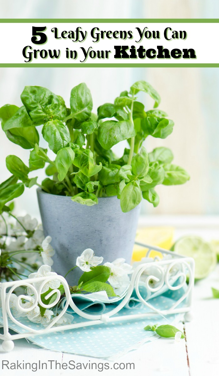 Did you know that you can grow great greens right from your kitchen? Check out these 5 Leafy Greens You Can Grow in Your Kitchen.
